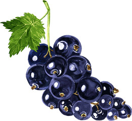 vector watercolor drawing blackcurrant