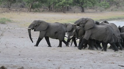 A herd of African elephants going out from waterhole