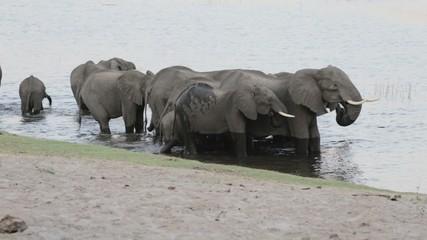 A herd of African elephants drinking at waterhole