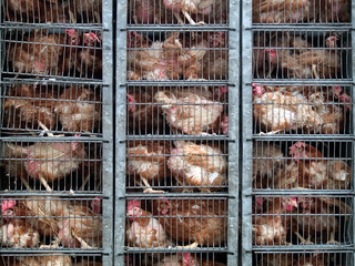 dramatic transport conditions for laying hens