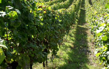Wine Plants
