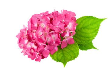 flower pink green leaf Hydrangea isolated
