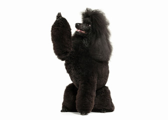 Dog. Black poodle big size isolated on white background