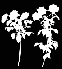 two white rose branches isolated on black