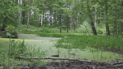 Marshland, swamp in the old forest.