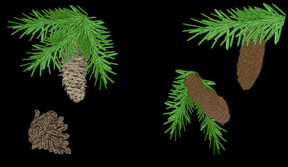 green fir branches with cones on black