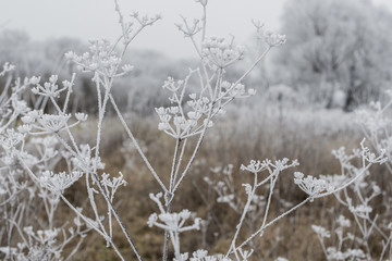 inflorescence dry grass covered with frost