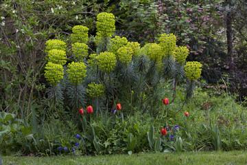 Euphorbe euphorbia tulipe jardin printemps