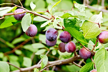 Plums purple on branch with leaves