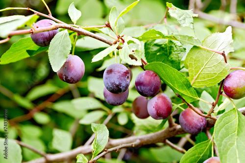 Keuken foto achterwand Boodschappen Plums purple on branch with leaves