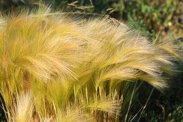 feather grass, Stipa