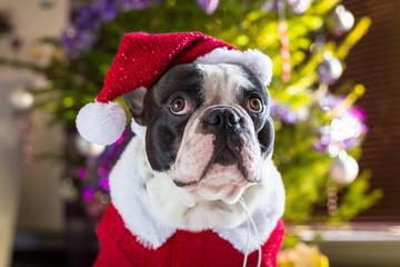 French bulldog in santa hat under christmas tree