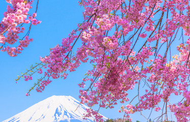 Mount Fuji under Weeping cherry blossom