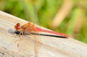 Red Darner Dragonfly