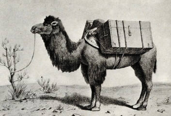 Burdened camel