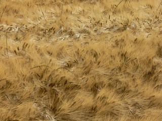 campo di grano maturo spighe