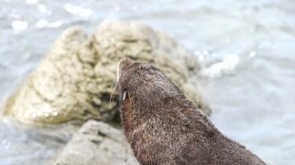 Small fur seal crawling on rocks