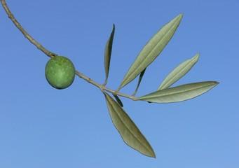 ramo di olivo con frutto