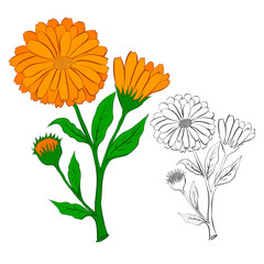 The flower of calendula