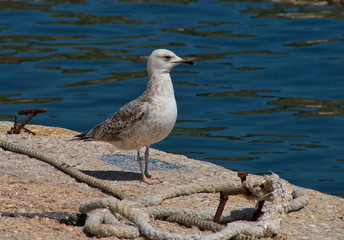Proud young seagull