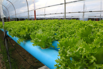 Hydroponics vegetable garden, agricultural small  industry