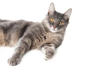 Grey cat on white background