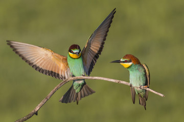 Bee eaters on branch front of nice green background