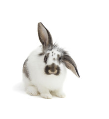 rabbit on a white background isolated