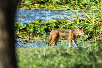 Jackal Wildlife Animal