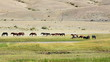 Obrazy na płótnie, fototapety, zdjęcia, fotoobrazy drukowane : Wild horses grazing in the fields