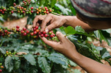 Fototapety arabica coffee berries with agriculturist hands