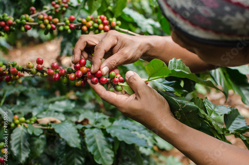 Poster Koffie arabica coffee berries with agriculturist hands