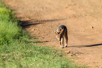 Jackal Wildlife Animal