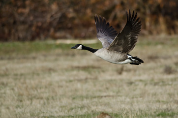 Canada Goose Taking to Flight from an Autumn Field