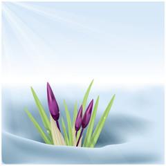 Spring. Crocus.