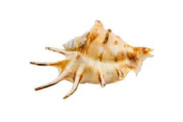 Cockleshell of the Black Sea  - Rapana