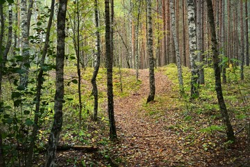 Walkway in the forest during the golden Autumn in Latvia