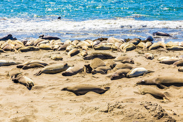 Elephant seals in California, USA