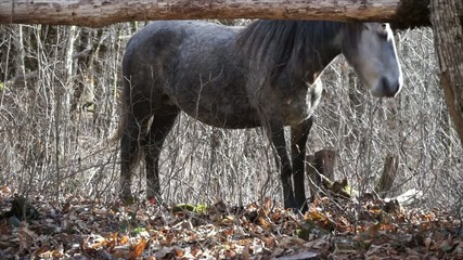 Horse is looking for food in autumn forest