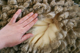 Woman's hand over merino wool