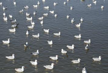 Seagull swimming on the sea at Bang Pu beach