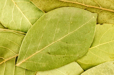 Background texture of bay leaves