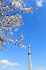 Cherry blossoms and the Tokyo Sky Tree in Tokyo