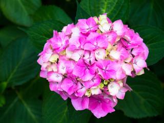 Pink hydrangea blossoms, summer flower