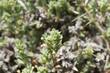 Flowers and leaves of Crucianella maritima