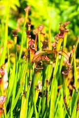 Sarracenia leucophylla, Sarraceniaceae