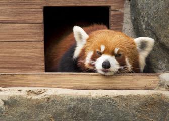 Малая панда (красная панда).