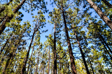 Very High Pine Wood Forest