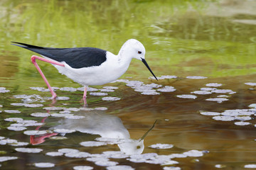 Black-winged Stilt (Himantopus himantopus)