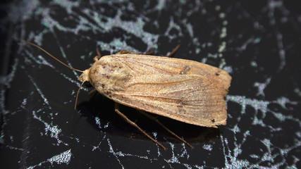 Moth (Agrotis segetum) isolated on marble